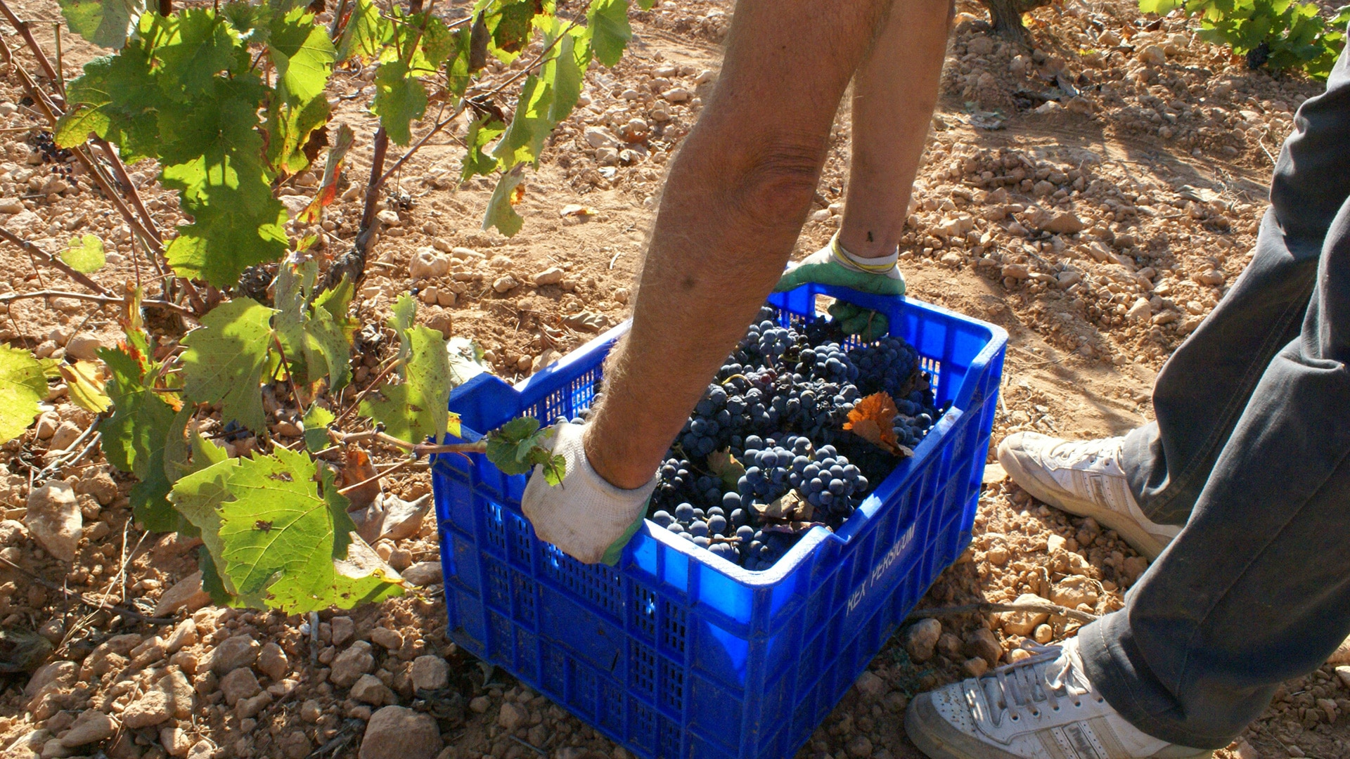 Grape_harvesting_Blog1
